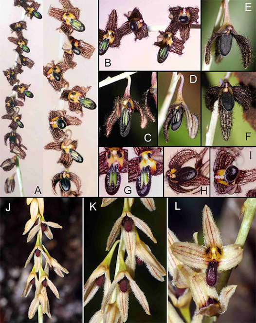 Bulbophyllum scaphiforme