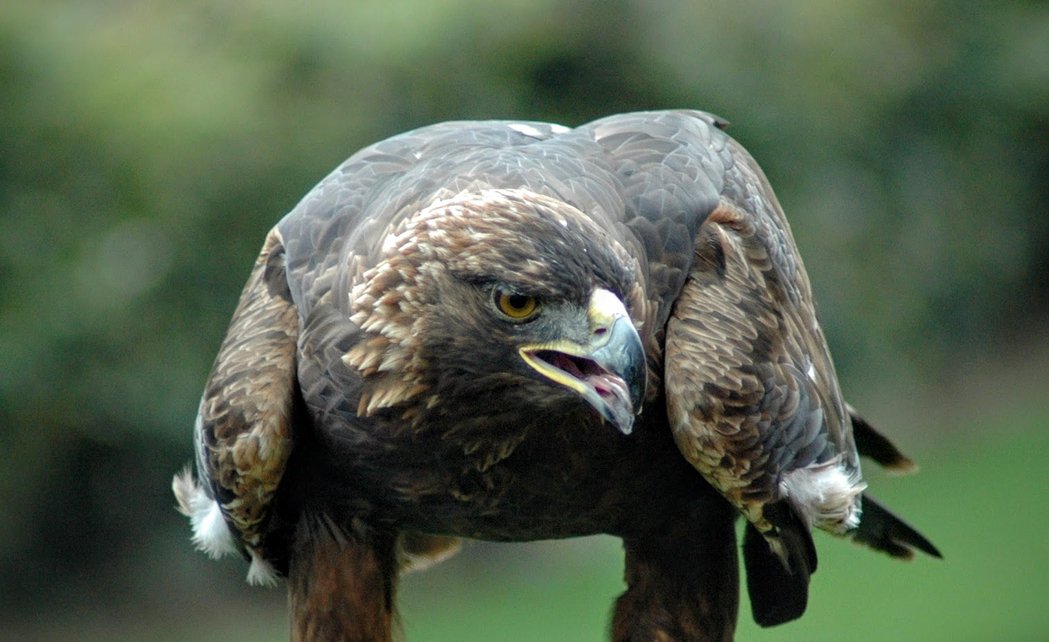 golden-eagle