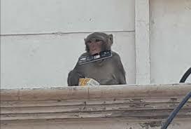 Image result for वृनॠदावन के बंदर  मोबाइल