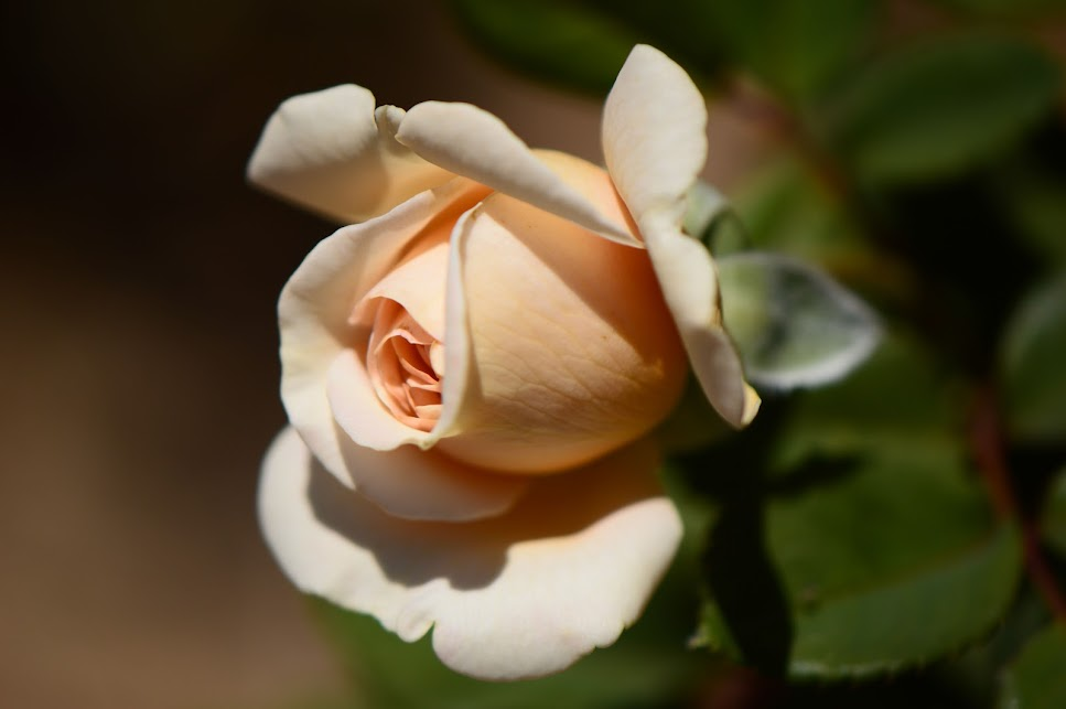 """Crown Princess Margareta"" rose, English rose"