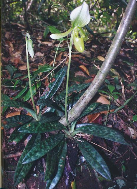 Paphiopedilum callosum f. viridiflorum