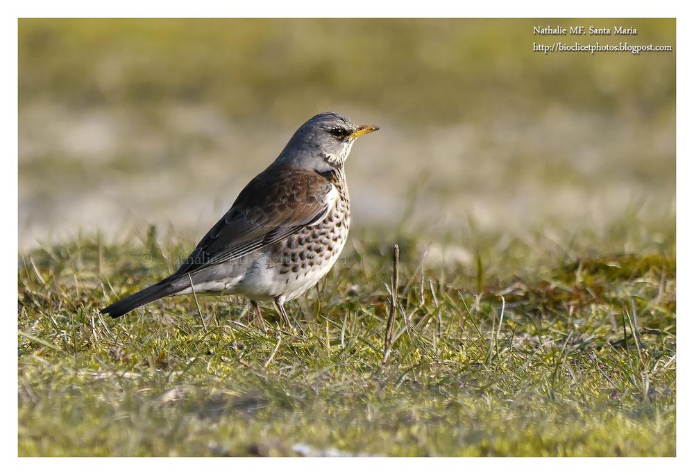 https://bioclicetphotos.blogspot.fr/search/label/Grive%20litorne%20-%20Turdus%20pilaris
