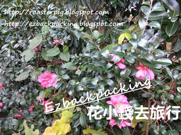 漢拏樹木園山茶花
