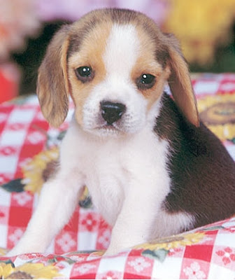 beagles for sale. Finding eagles for sale is a