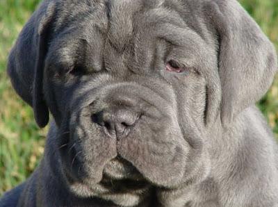 ... rescue and adoption): Mastiff (English Mastiff) (Old English Mastiff