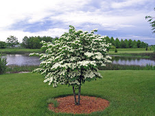 The Kousa Dogwood
