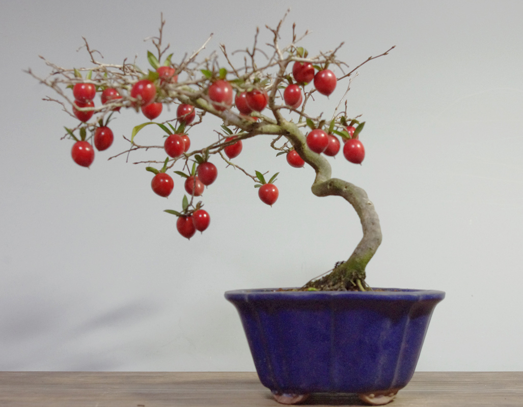 Diospyros kaki as bonsai