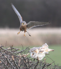 Kestrel vs. Barn Owl