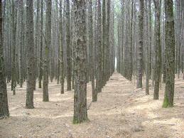 Interior da Floresta de Pinus
