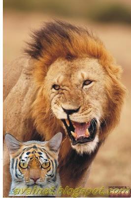 e3d34ceab7 Avaí Net - O AVAÍ acima de tudo!  Tigre Espera Leão em Casa neste ...