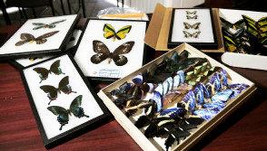 [Smuggled+butterflies]