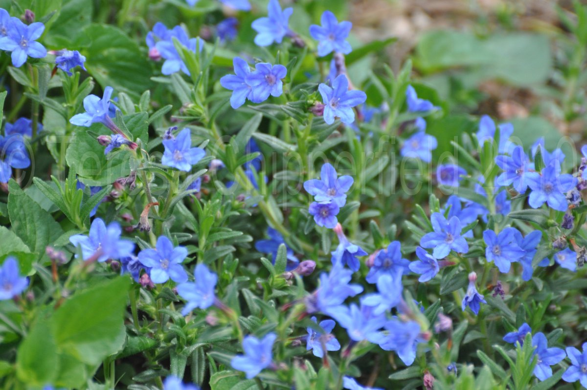 Ground Cover With Blue Flowers 97