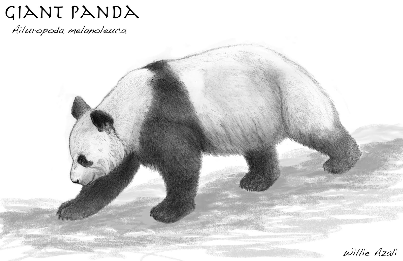 displaying 18 gt images for giant panda drawing