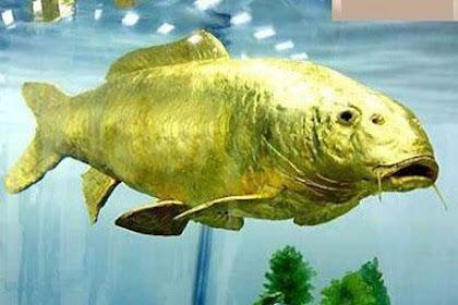 Foto Ikan Mas Terbesar Di Dunia