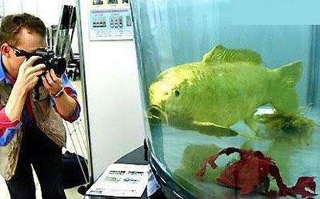 Ikan Emas Terbesar di Dunia