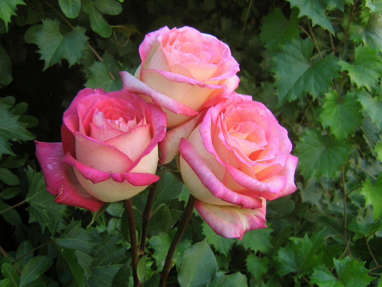 roses - photo #13