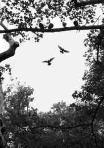 Pigeons au paradis