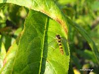 Μύγες: Ωφέλημα έντομα στο βιολογικό περιβόλι