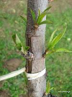 Κέντρωμα δέντρων