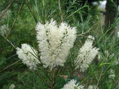 Bunga Tea Tree atau nama saintifiknya Melaleuca Armillaris