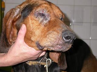 se transmite la leishmania a los cachorros