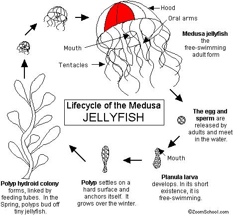 the+life+cycle+of+jellyfish