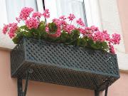 Sardinheiras em flor