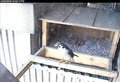 peregrine falcons lansing