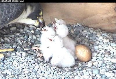 lansing bwl falcons