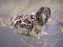 Mount Ararat Shepherd Dogs