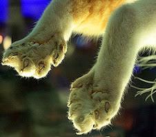 7-toed cat