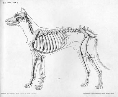 A domestic dog has a proportionately smaller skull and paws
