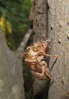 Bug Eric Cicada Shells