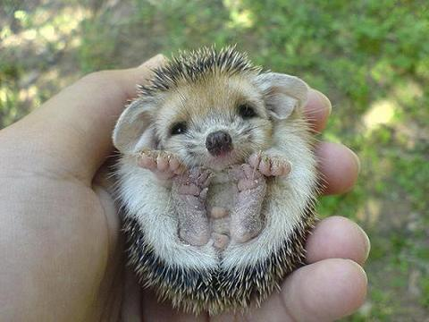 teeny tiny animals baby echidnas are called puggles