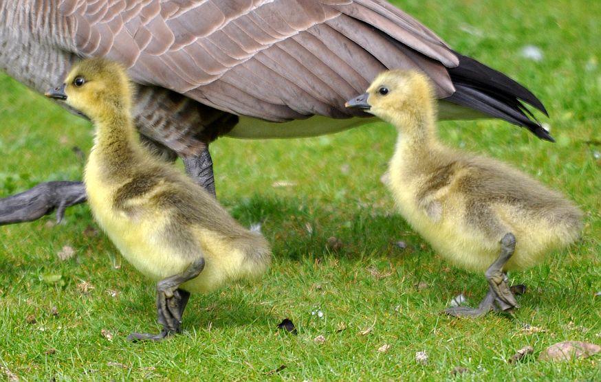 Seaview Wildlife Encounter: Barnacle Geese incubating ...