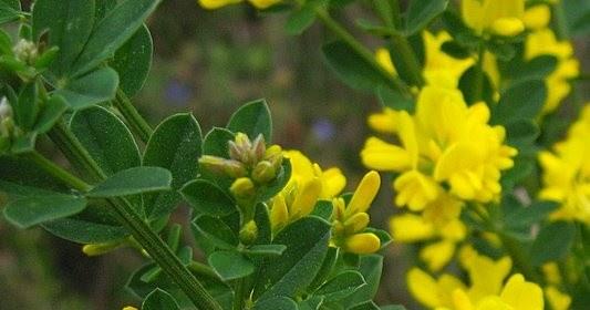 Flora Advena de Chile Retamilla (Teline monspessulana (L) K Koch)