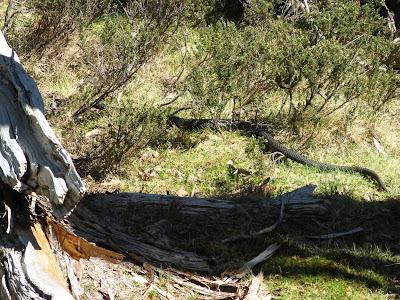 Tiger Snake - Walls of Jerusalem National Park Tasmania