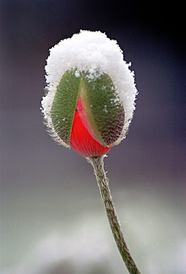 snow poppy500