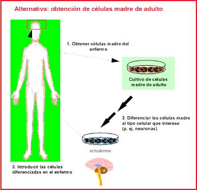 células madre adultas o somáticas