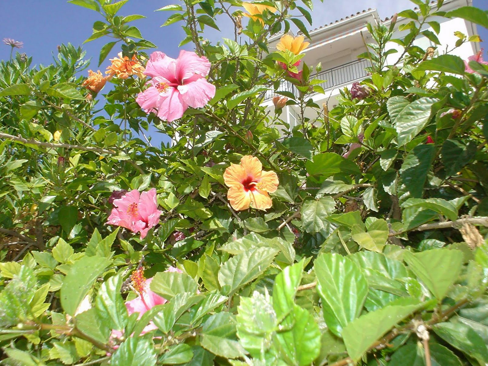 Cottage Farms Hibiscus Plants Hardy – HD Wallpapers