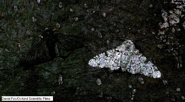 GEÓMETRA DEL ABEDUL (Biston betularia)