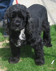 4/6/10 Cocker Spaniel mix  and Others Urgent Carroll Cty Pound OH