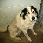 7/11/11 Great Pyrenees Mix TN Beyond Urgent