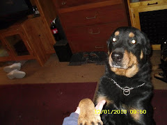 12/8/ Rottie Shep Mix Needs Rescue or Adoption or Will Go to POUND