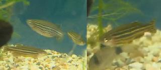 All About Aquarium Fish Keeping Freshwater Zebra Danio In Aquariums