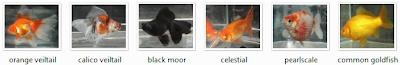 types of goldfish
