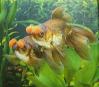 All About Aquarium Fish Goldfish Varieties Pom Pom