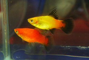 All About Aquarium Fish: Platy Care and Breeding