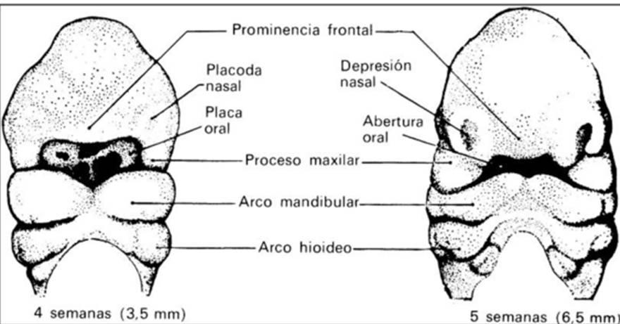 Jennifer's Blog: Embriologia bucodental: Formación de la