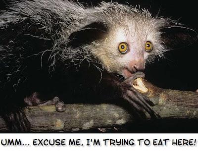Aye Aye Eating Grub We Love Aye-aye...